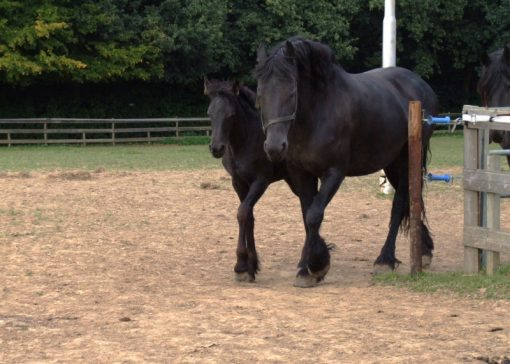 Fries paard blijft populair ondanks crisis