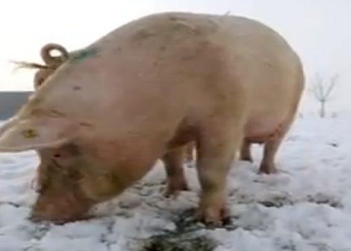 FILMPJE: varkens in de sneeuw