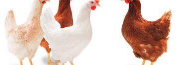 Commerciële kip legt straks 600 dagen achter elkaar