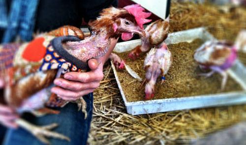 Jasjes voor kale kippen