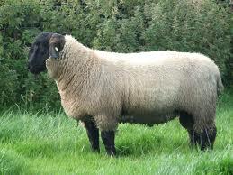 Kortere schapenstaarten fokken gaat niet snel genoeg
