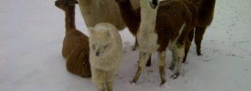 FILMPJE: Gestolen alpaca's weer teruggevonden