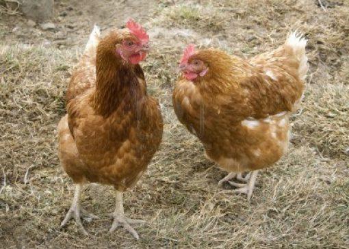 Milde vogelgriep op kippenboerderij in Lochem (Gld.)