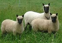 Nieuw protocol voor import schapen