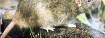 Kwart van bruine ratten resisten tegen gif