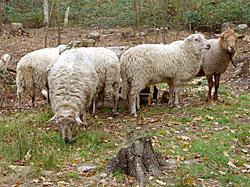 Onderzoek naar resistentie Cydectin in Limburg