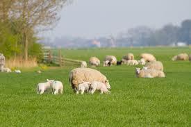 Welzijnsproblemen schapen op een rij gezet