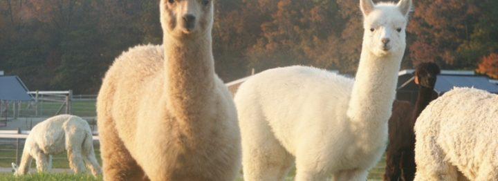 Speciale voorwaarden voor het houden van alpaca's