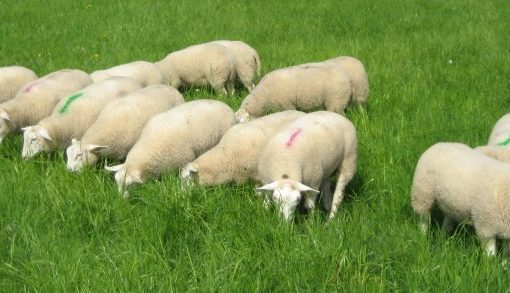 Resultaat bij vaccinatie schapen tegen maagdarmwormen