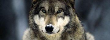 Onderzoekers aan de slag met wolvenplan