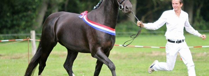Veel kwaliteit op keuring Groninger Paard