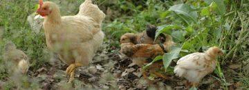 Dioxine in eieren van hobbykippen rond Harlingen (Fr.)