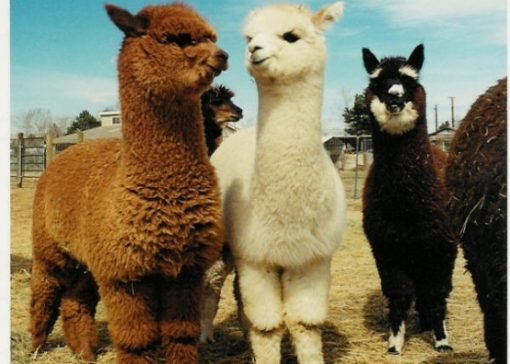 Alpaca's gestolen uit weiland Oudleusen
