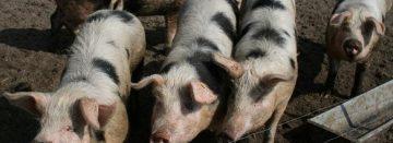 Bonte Bentheimers verzorgen bosbeheer in Brabant