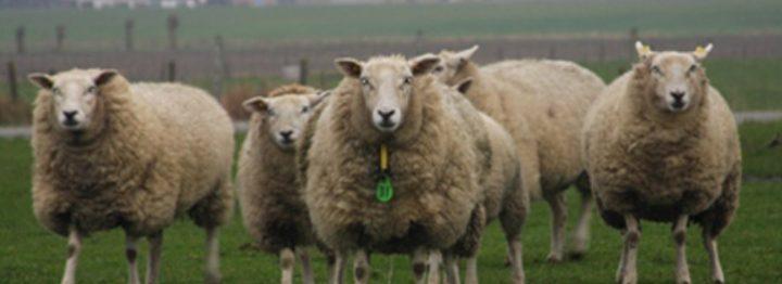 Genenbank breidt uit met geiten- en schapenrassen