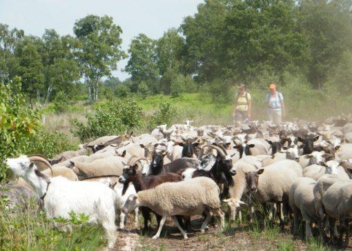 Opleiding tot schaapherder