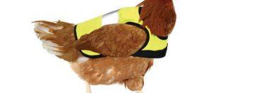 FILMPJE: hype rond kippenhesjes
