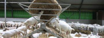 Klimschuilknabbelruif geeft geiten wat te doen
