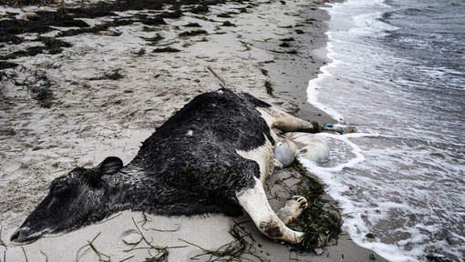 Koeien spoelen aan op Deense en Zweedse kust