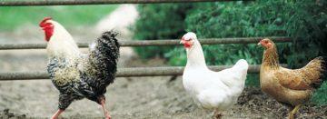 Eieren van hobbykippen bevatten vaak te veel dioxine