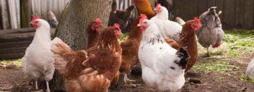 Nieuwe bronchitisstam bij kippen in Nederland