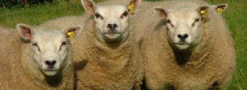 Schapenslachterijen willen geen schapen meer zonder chip