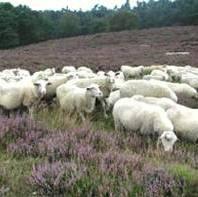 Graasdierpremie 160 euro voor rund en 24 euro per schaap