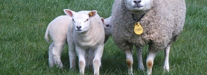 Boete 1.500 euro voor niet geregistreerde schapen hobbyboer