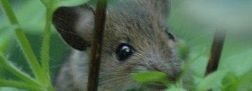 Muizen vernielen Fries grasland