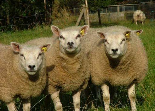 Onderzoek naar medicijngebruik bij schapen
