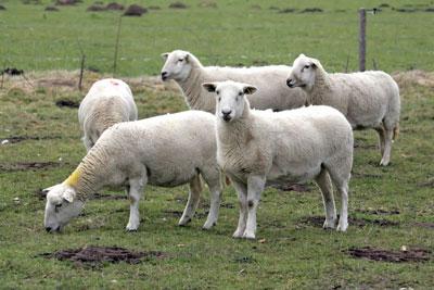 Enquete over rotkreupel bij schapen