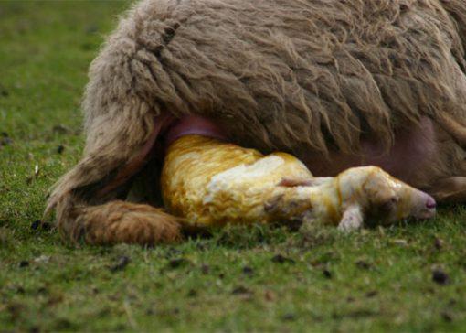 Tweederde lammeren krijgt hulp bij geboorte