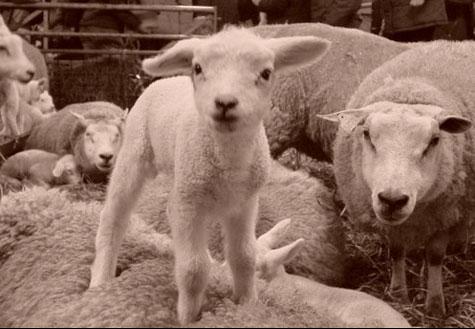 Hogere heffing Diergezondheidsfonds schapen- en geitenhouders