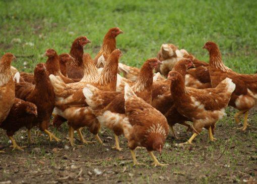 Vogelgriepvirus blijft circuleren in Europa