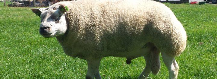 Meer dan 700 schapen naar nationale Texelaarkeuring
