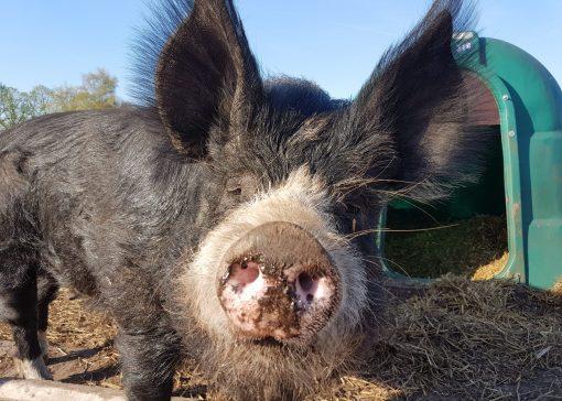 Zeldzaam Berkshire varken geliefd om smaak en karakter