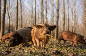Varkens hoeven voorlopig niet naar binnen