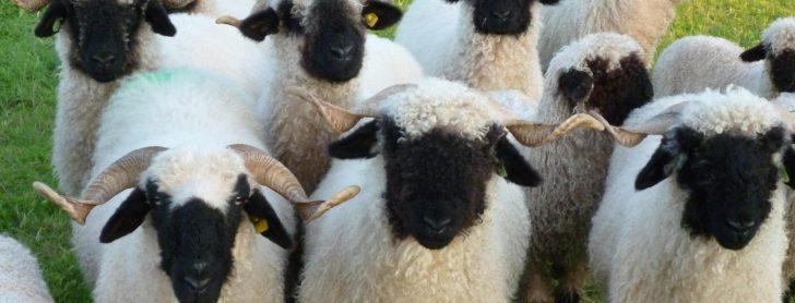 'Dit is echt een schapenras om mee te kroelen'