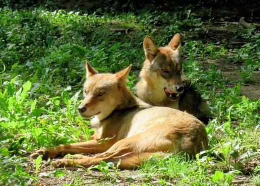 Vaker schade door wolven gemeld