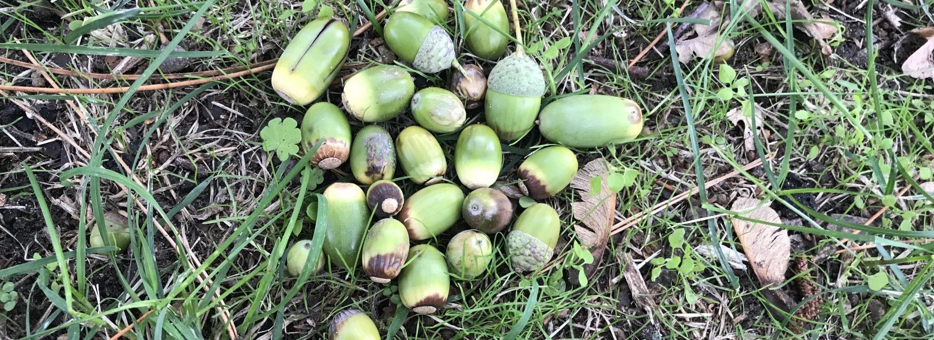 Groene eikels en groen eikenblad giftig voor dieren