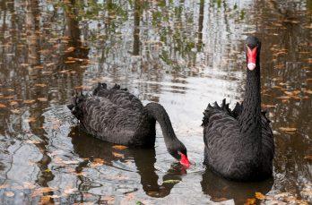 Zwarte zwanen. Hun hele leven trouw aan een partner