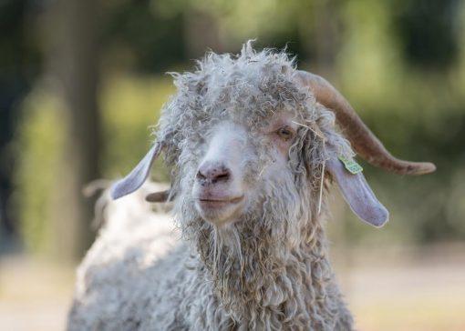 Verlegen geiten met kostbare pijpenkrullen