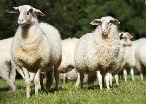 Herderin Laura bewandelt eigen pad met Bentheimer Landschapen