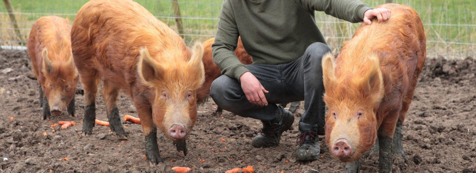 Verslingerd aan het Tamworth varken