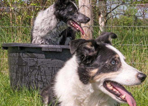 Trainingscentrum 'Move4ward' traint honden en bazen respectvolle samenwerking van mens, hond en schapen