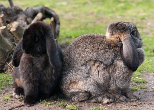 Conclusie grootschalig onderzoek konijnen- welzijn: nog veel winst te behalen
