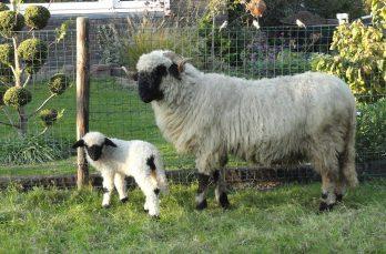 Lees mee met Boerenvee, hét vakblad voor liefhebbers van boerderij- en hobbydieren
