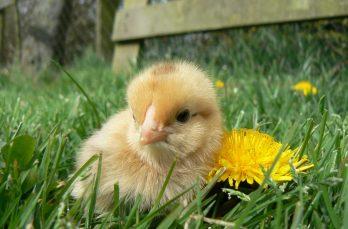 Ultiem voorjaarsgenot: een kloek en haar donzige kroost