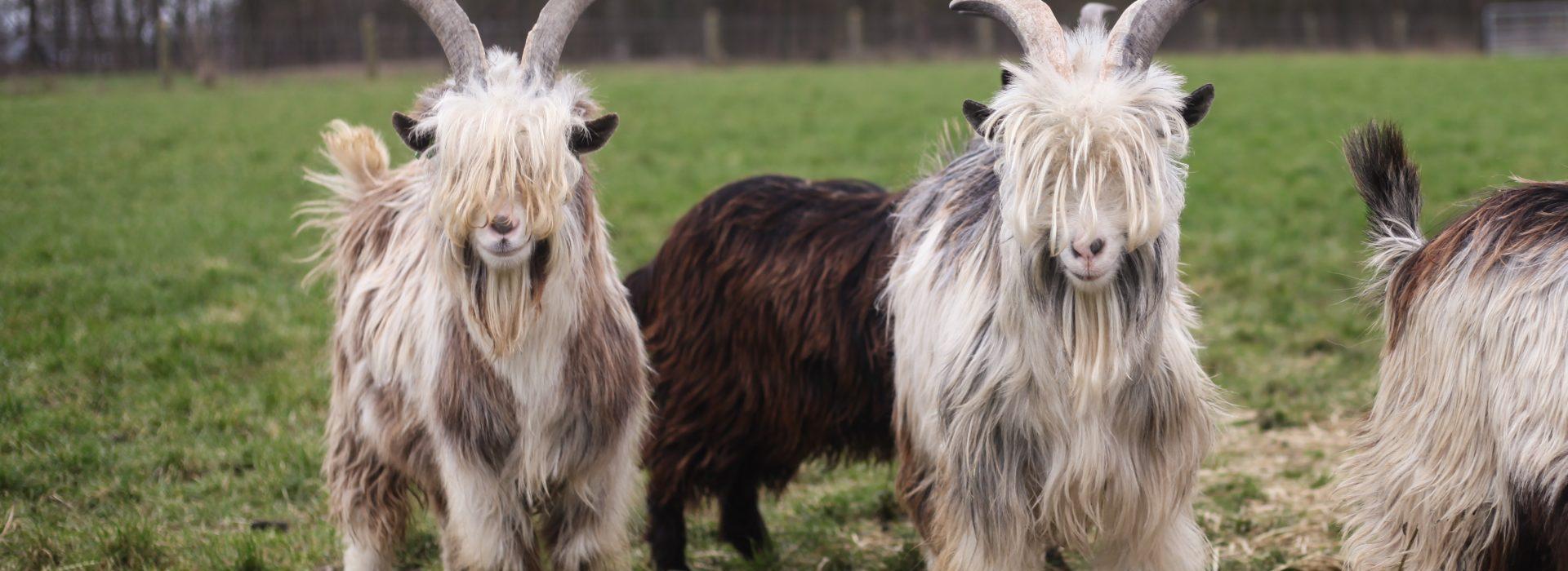 Zeldzame huisdierrassen beschermd bij dierziekten