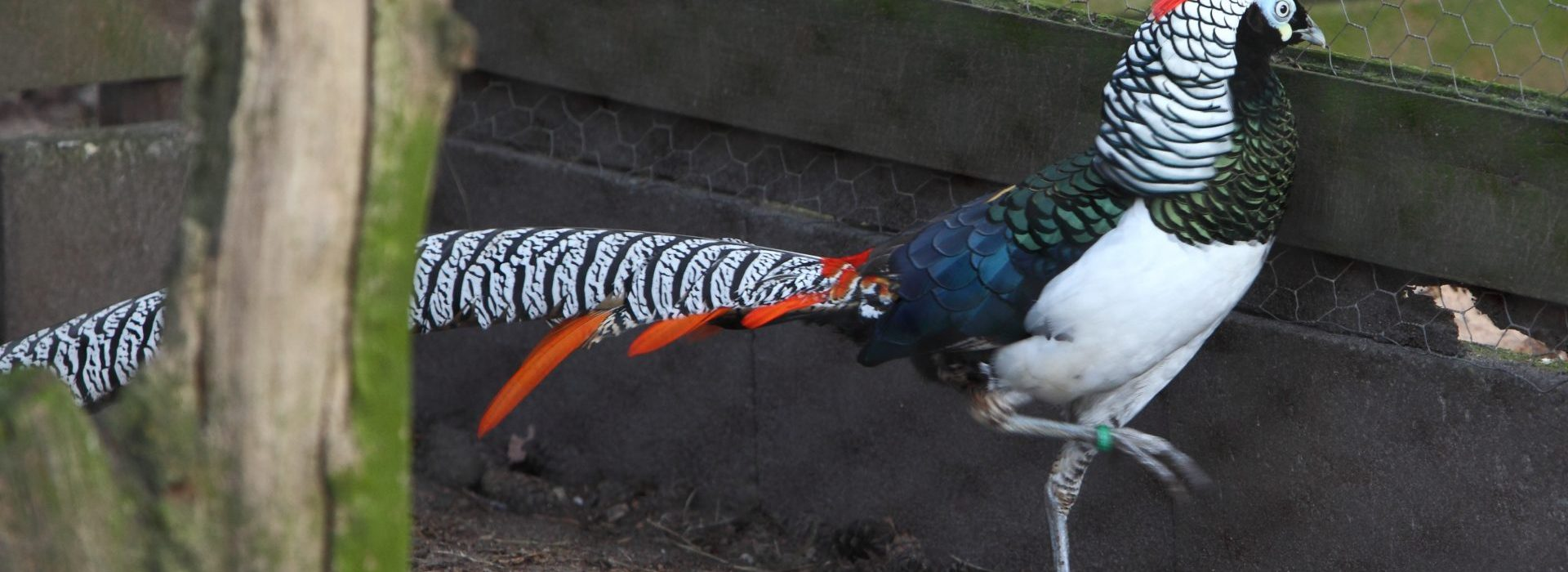 Jan Haan: in de ban van de fazant